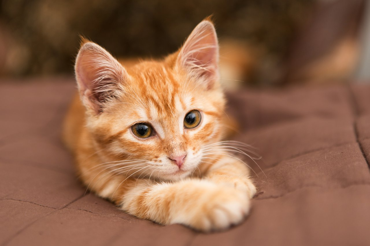 Small orange kitten lie on the bed